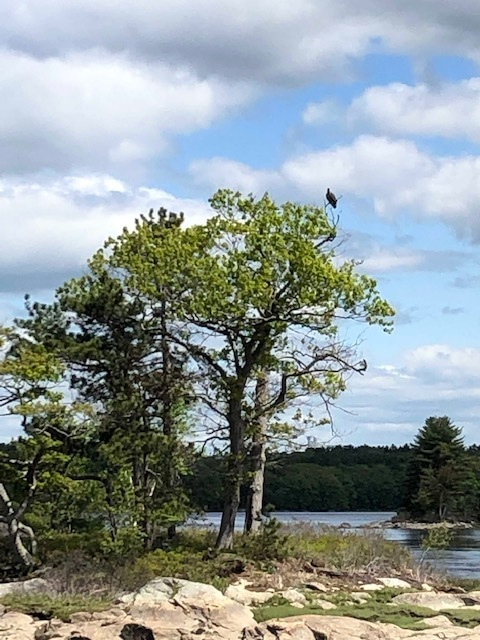 Can you see the bald eagle in the tree?